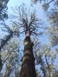 100-jaar-oude eucaliptusboom in Australië Stock Afbeelding
