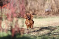 Jaar van het Hondconcept Mensen beste vriend Longhair tekkelhond buiten met exemplaarruimte Chinees Nieuwjaar van de hond dachshu stock foto's