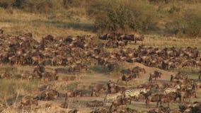Jaarlijkse grote migratie in Kenia stock videobeelden