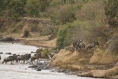Jaarlijkse migratie van meest wildebeest Masai Mara Stock Fotografie