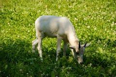 Jaat Goat Nestling Royalty Free Stock Photo