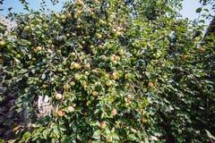 Jabłko ogród z wiele appleses zdjęcia royalty free