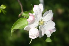 Jabłoń biali i różowawi kwiaty Środkowy kwiat kwiatostan dzwoni królewiątko kwiat fotografia stock