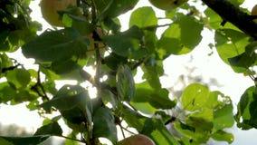 Jabłoń z pięknymi naturalnymi czerwonymi jabłkami w słońcu błyszczy zdjęcie wideo