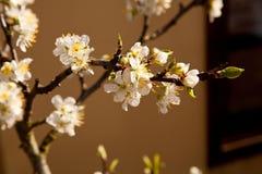 Jabłczana kwitnie gałąź Fotografia Stock