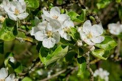 jabłczana ogrodu zdjęcia wiosna kwiat Zdjęcia Royalty Free