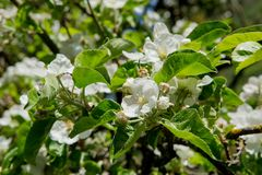 jabłczana ogrodu zdjęcia wiosna kwiat Zdjęcie Royalty Free