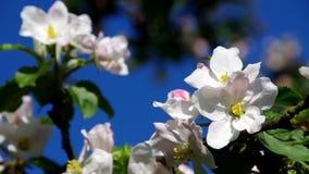 jabłczana ogrodu zdjęcia wiosna kwiat zbiory