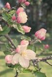 jabłczana ogrodu zdjęcia wiosna kwiat zdjęcia stock