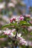 jabłczana ogrodu zdjęcia wiosna kwiat Obrazy Royalty Free