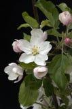 jabłczana ogrodu zdjęcia wiosna kwiat Fotografia Royalty Free