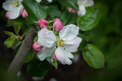 jabłczana ogrodu zdjęcia wiosna kwiat Zdjęcie Stock