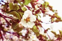 jabłczana ogrodu zdjęcia wiosna kwiat Rocznik fotografii skutek Zdjęcie Stock