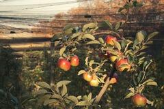 Jabłczana plantacja fotografia stock