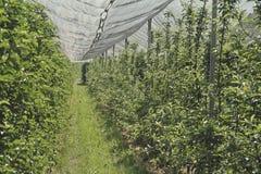 Jabłczana plantacja zdjęcie royalty free