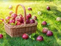 Jabłczanego żniwa Dojrzali czerwoni jabłka w koszu na zielonej trawie zdjęcie stock