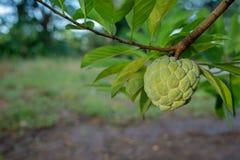 jabłczanego custard narastający drzewo Zdjęcia Royalty Free