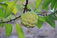 jabłczanego custard narastający drzewo Zdjęcia Stock