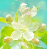 jabłczanego tła kwitnący wiosna czas drzewo fotografia royalty free
