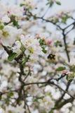 jabłczanego wieczór ogrodowy target128_0_ drzewo Wiosny kwitnący drzewo Piękny jabłko kwitnie na gałąź zdjęcie stock