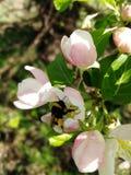 Jabłczani kwiaty karmią bumblebee obrazy stock