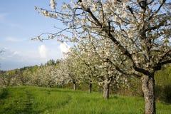 jabłczani kwitnący drzewa fotografia royalty free