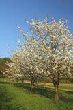 jabłczani kwitnący drzewa zdjęcie royalty free