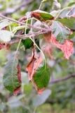 Jabłczani liście po chemicznego oparzenie obraz stock