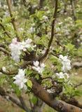 jabłczani okwitnięcia Zdjęcie Royalty Free