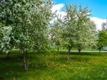 Jabłczani okwitnięcia w wiośnie w mieście uprawiają ogródek obraz stock