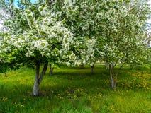 Jabłczani okwitnięcia w wiośnie w mieście uprawiają ogródek fotografia stock