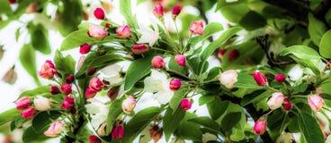 Jabłczani pączki Fotografia Royalty Free
