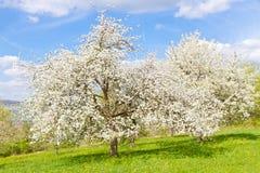 Jabłczani treew wiośnie Zdjęcia Royalty Free