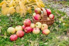 Jabłczany żniwo w późnym lecie w organicznie ogródzie Zdrowy, podtrzymywalny jedzenie, Jesień Fotografia Stock