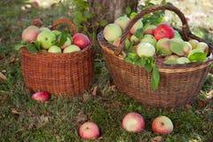 Jabłczany żniwo z koszami Obraz Royalty Free