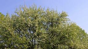 Jabłczany Czereśniowy kwitnienie Z Młodymi liśćmi Zdjęcia Royalty Free