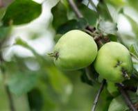 Jabłczany dorośnięcie na drzewie w ogródzie Jabłka na gałąź Zdjęcie Stock