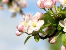 Jabłczany kwiat zdjęcie stock