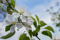 Jabłczany kwiat na pięknym błękitnym tle zdjęcia stock