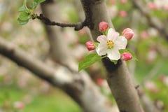 Jabłczany kwiat w wczesnej wiośnie Fotografia Royalty Free