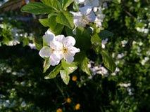 Jabłczany kwiat w wiosny St Petersburg obraz stock