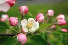 Jabłczany kwiatu szczegół Zdjęcia Stock