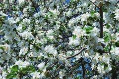 Jabłczany kwiatu zakończenie up podczas kwiatonośnego tła Obrazy Stock