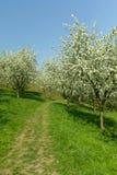 jabłczany kwitnący drzewo fotografia royalty free