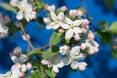 jabłczany kwitnienia gałąź wiosna drzewo Zdjęcie Royalty Free