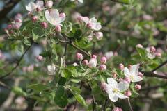 jabłczany kwitnienia gałąź wiosna drzewo Obraz Stock