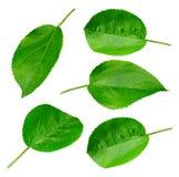 Jabłczany liść odizolowywający zdjęcie stock