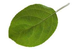 Jabłczany liścia zbliżenie Fotografia Royalty Free