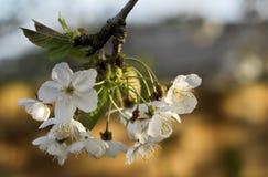 Jabłczany okwitnięcia drzewo zdjęcie stock