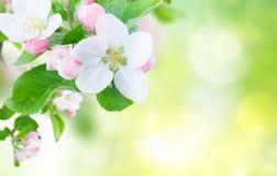 jabłczany okwitnięcia zakończenia drzewo jabłczany Fotografia Royalty Free
